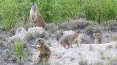 Perrito de la pradera: busca Coahuila salvarlo de la extinción