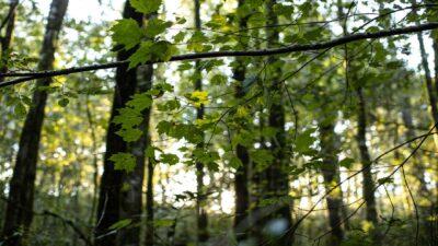 Bosque de maple en otoño