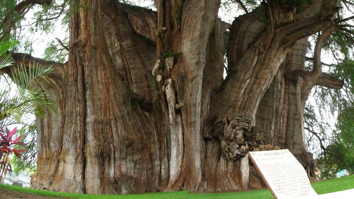 El árbol del Tule, en Oaxaca, tiene el tronco más grande del mundo