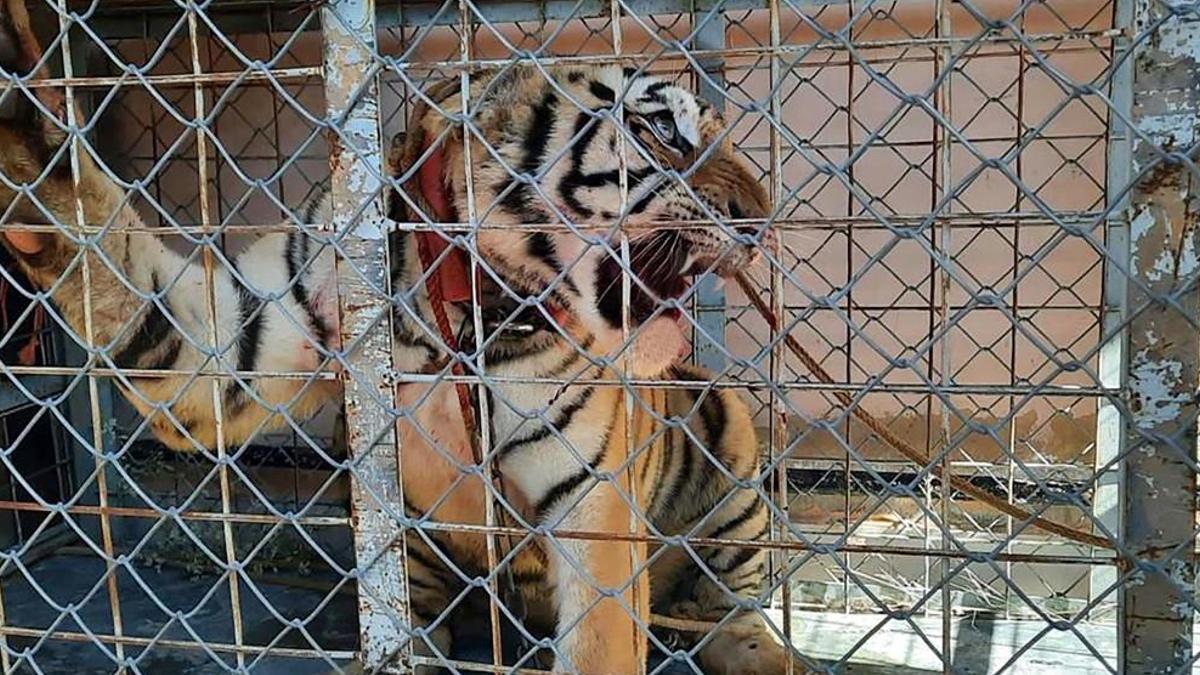 Sonora: En cateo, aseguran tigre de bengala, armas y autos en Pitiquito