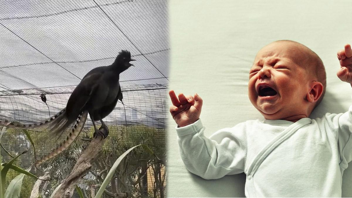 pájaro imita bebé llorando