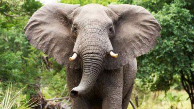 elefantes nacen sin colmillos