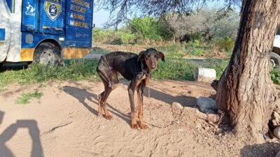 Encadenado y abandonado, rescatan a perrito en predio de El Marqués