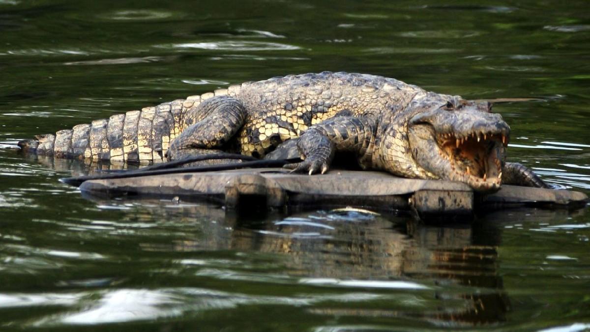 Nayarit: Captan a cocodrilo en orillas de la playa de Nuevo Vallarta