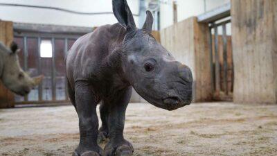 Rinoceronte blanco: Nace cría en zoológico de Francia