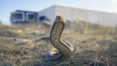 Serpiente de cuatro metros es captada en selva Dominica
