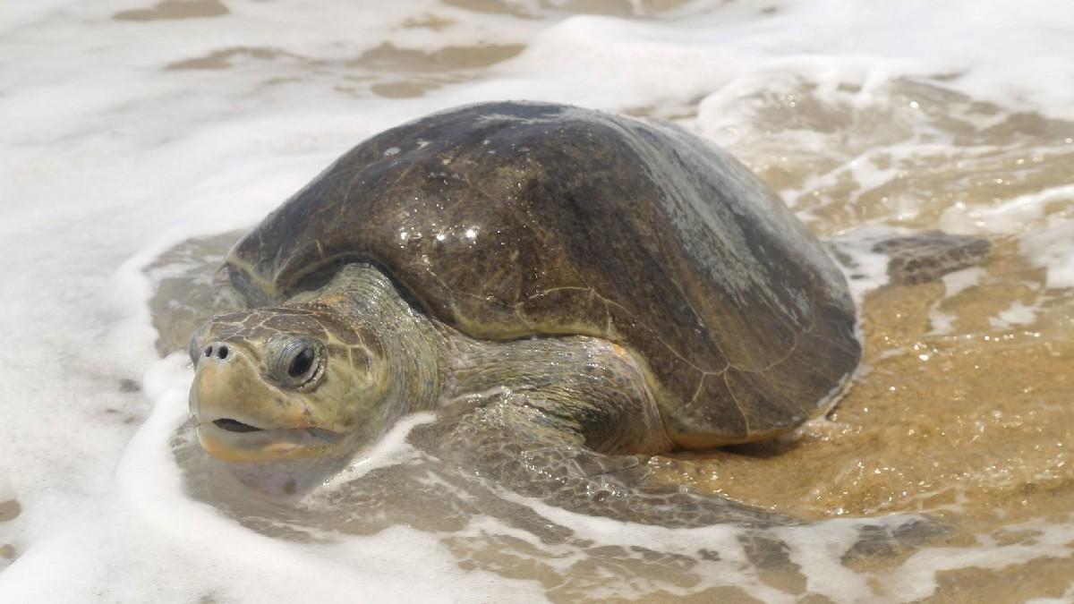 """Sonora: Denuncian que tortugas son atropelladas por """"raicers"""" en Guaymas"""