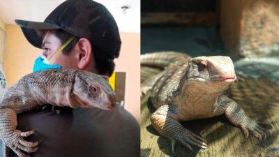 Puebla: reptil escapa en Atlixco; es un varano africano